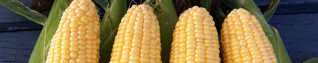 sweet corn plants